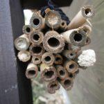 狩りバチ(ドロバチ)の営巣用の竹筒 使用中