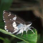 植物にとまる羽化直後のダイミョウセセリ。普通は翅を立ててとまることはない 福岡県福岡市早良区三瀬峠 1997/05/22