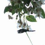 エゴノキで吸蜜するダイミョウセセリ 福岡県糸島市瑞梅寺瑞梅寺ダム公園 2005/05/21