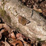 枯れ木にとまって日向ぼっこをするミヤマセセリ 大分県由布市庄内町男池 2004/04/21