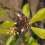 アセビの花で吸蜜するミヤマセセリ 熊本県阿蘇郡産山村池山 2006/04/30
