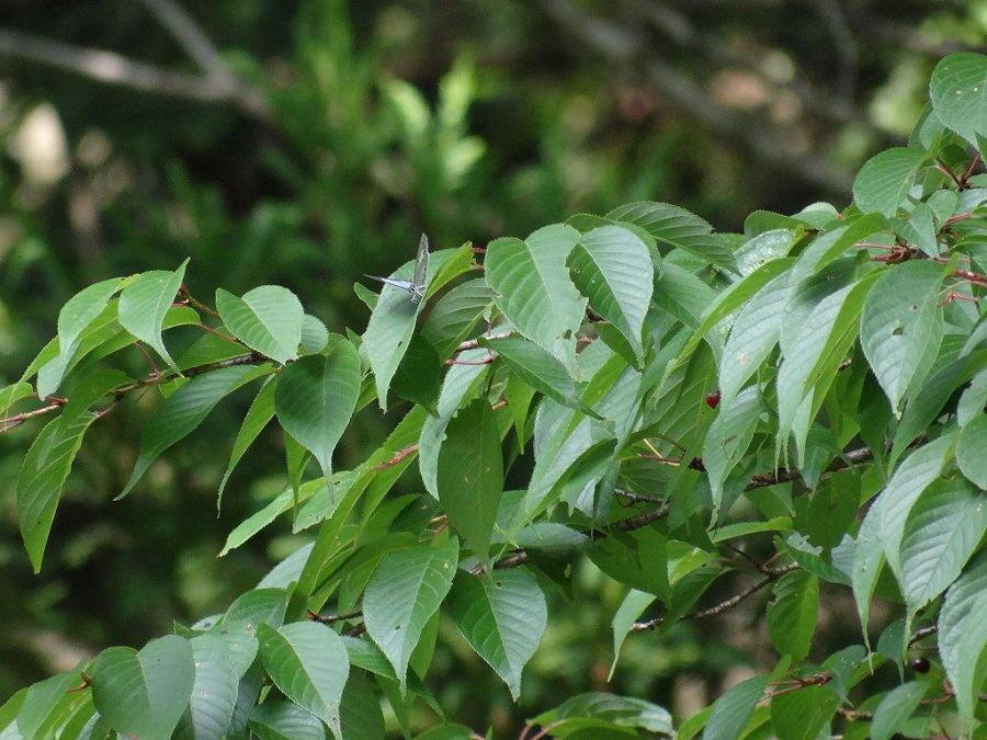 樹木にとまるウラゴマダラシジミ 福岡県朝倉郡東峰村小石原 2013/06/16