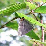 樹木の葉にとまるエゾミドリシジミ 福岡県田川郡添田町英彦山 2001/08/05