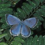 翅を乾かすオオルリシジミ 熊本県阿蘇郡南阿蘇村白水 1997/05/15
