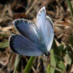 朝陽で翅を暖めるオオルリシジミ 熊本県阿蘇郡南阿蘇村白水 2004/05/07
