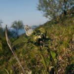 交尾するオオルリシジミ 熊本県阿蘇郡南阿蘇村白水 2007/05/08