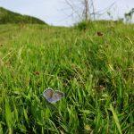 朝陽で翅を温めるオオルリシジミ 熊本県阿蘇郡南阿蘇村白水 2008/05/08