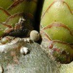 アカガシの芽に産み付けられたキリシマミドリシジミの卵 佐賀県佐賀市三瀬村金山 2000/12/07
