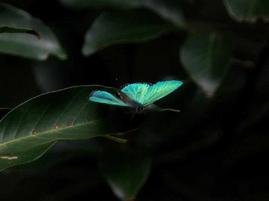 翅を開くキリシマミドリシジミ 福岡県福岡市早良区椎原峠 2008/07/27