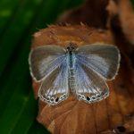 翅を開くクロマダラソテツシジミ  福岡県福岡市中央区西公園 2011/10/24