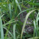 草にとまるゴマシジミ 大分県由布市湯布院町由布高原 2004/08/21
