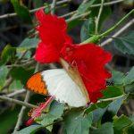 訪花するツマベニチョウ 兵庫県伊丹市伊丹市昆虫館 2009/03/14