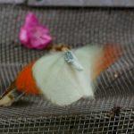 飛翔するツマベニチョウ 兵庫県伊丹市伊丹市昆虫館 2009/03/14