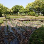 日本風庭園にはハナショウブを植えました